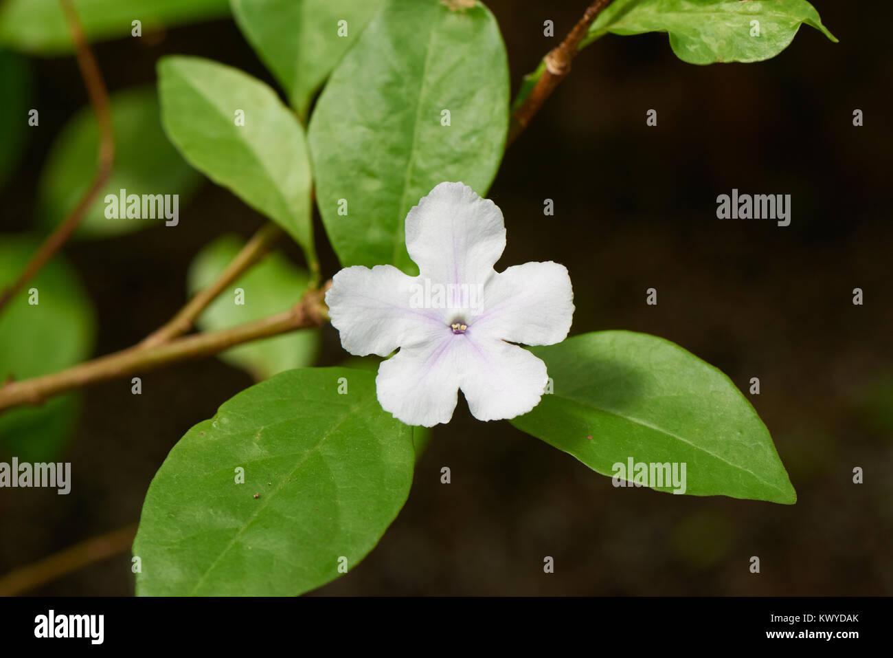 Brunfelsia australis flower. Brunfelsia is a genus of flowering plants in the family Solanaceae. - Stock Image