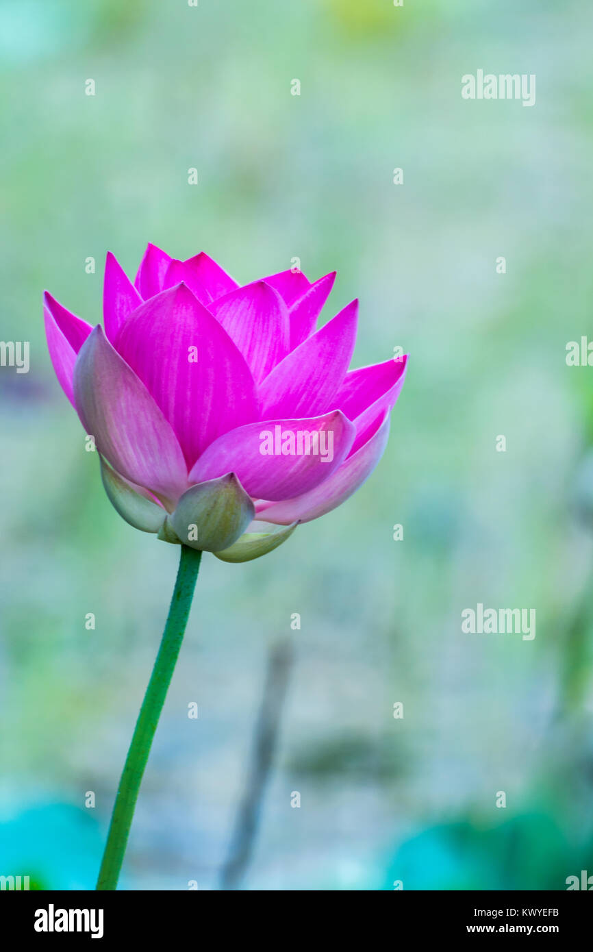 Pink sacred lotus with blurred background Stock Photo