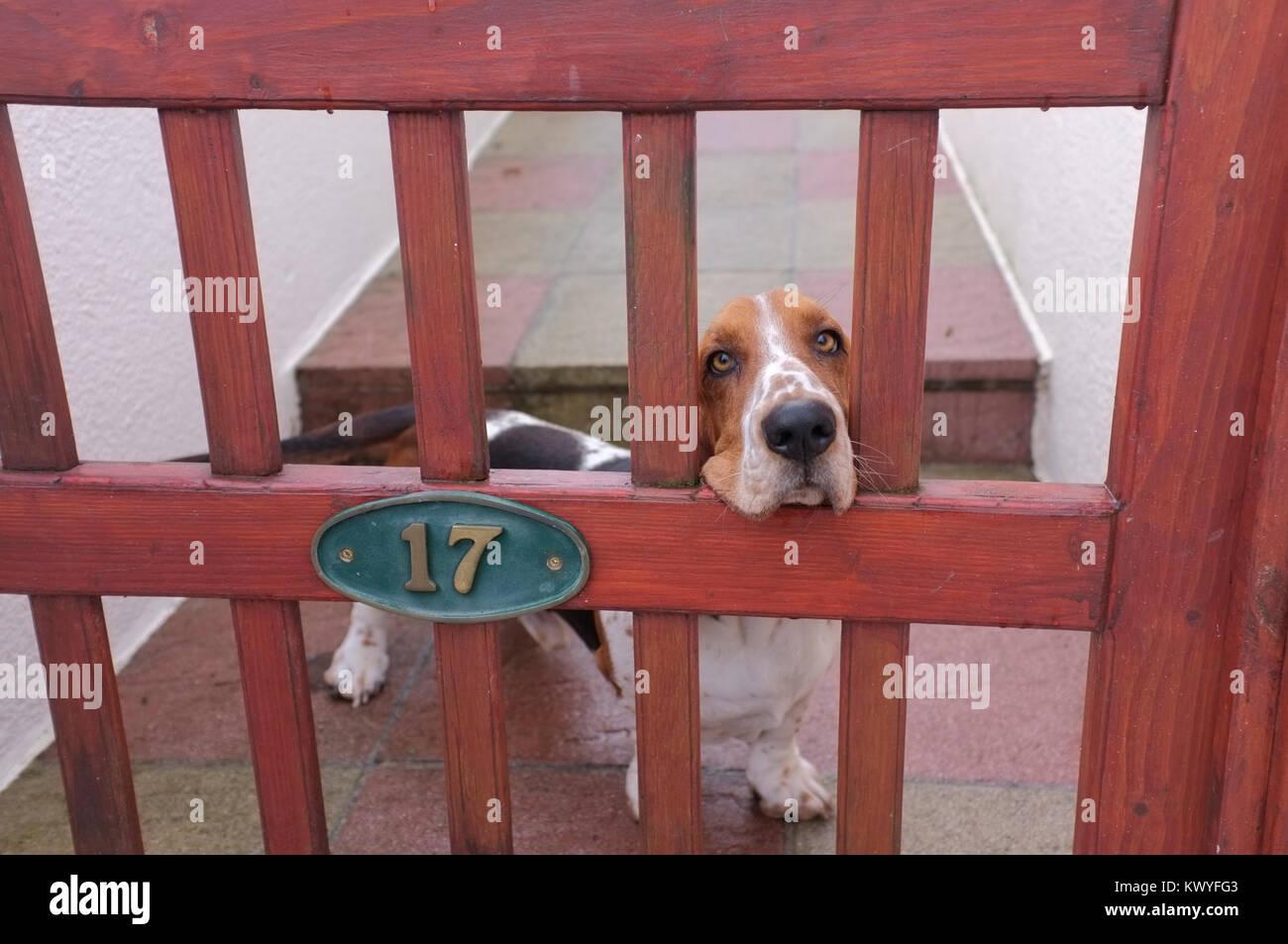 Basset Hound at gate. - Stock Image