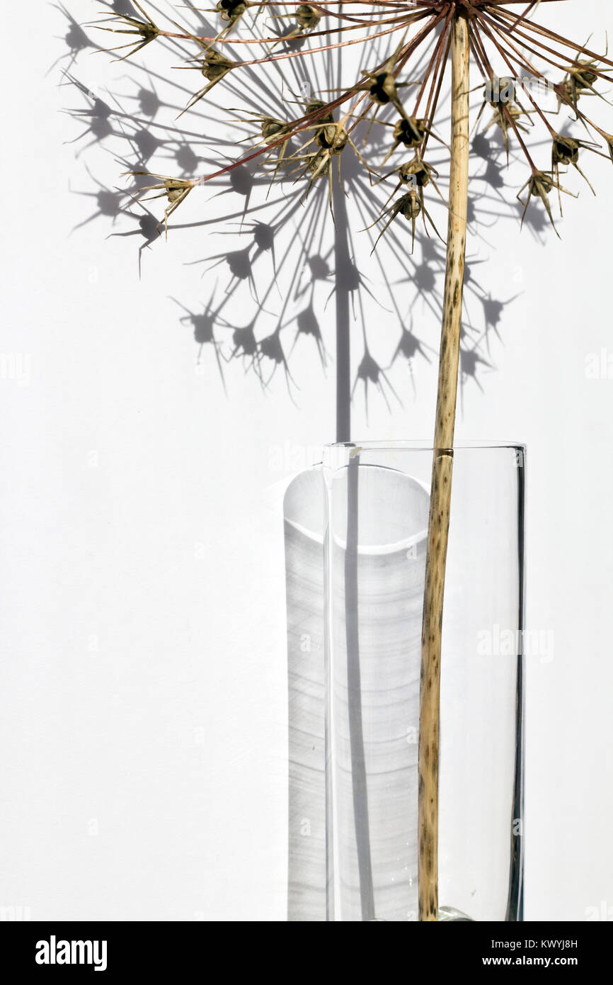A dried allium stem in a glass vase with starburst seed head, against a white background and shadow shape. - Stock Image