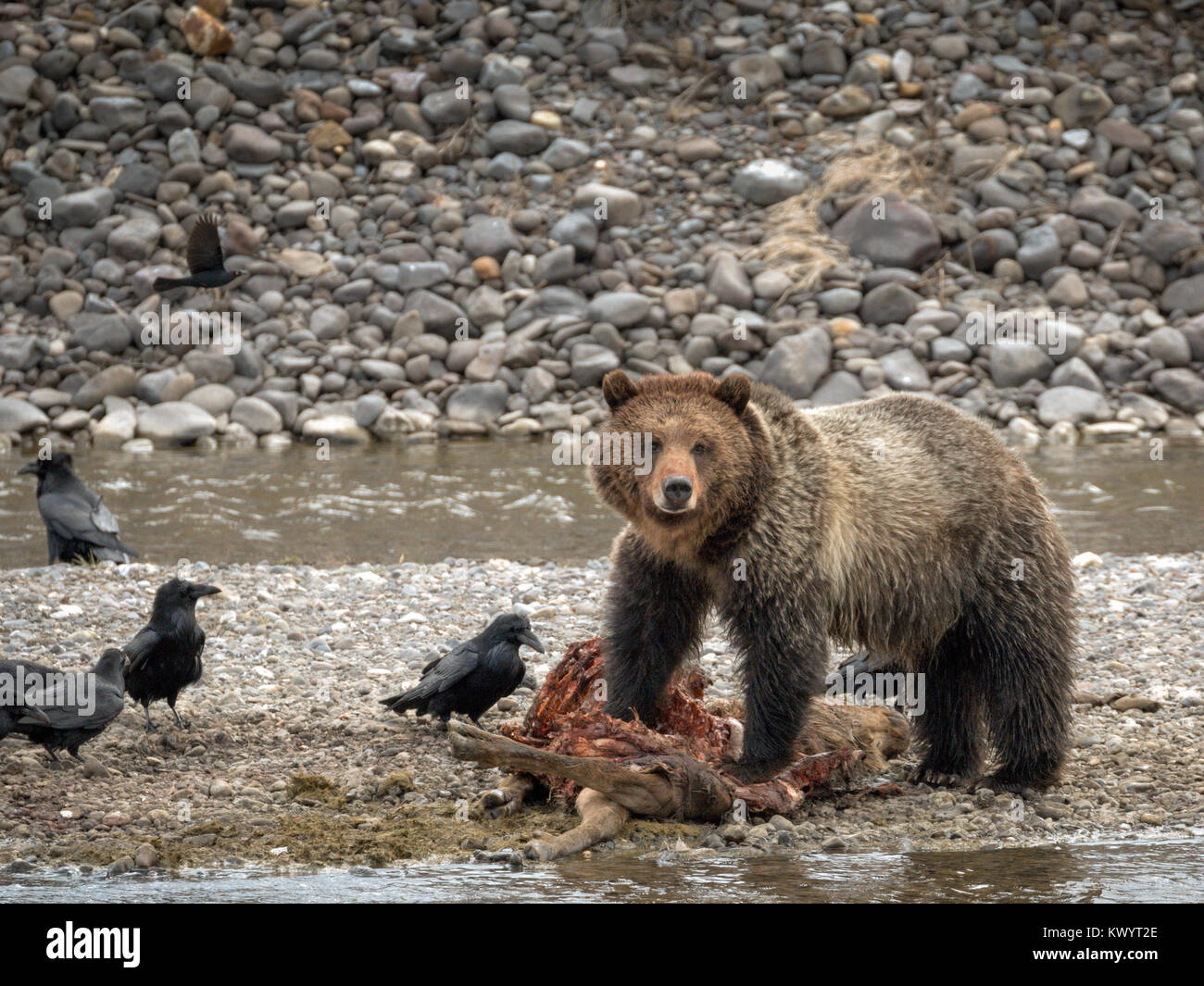 Grizzly Bear and Ravens share elk kill Yellowstone National Park - Stock Image