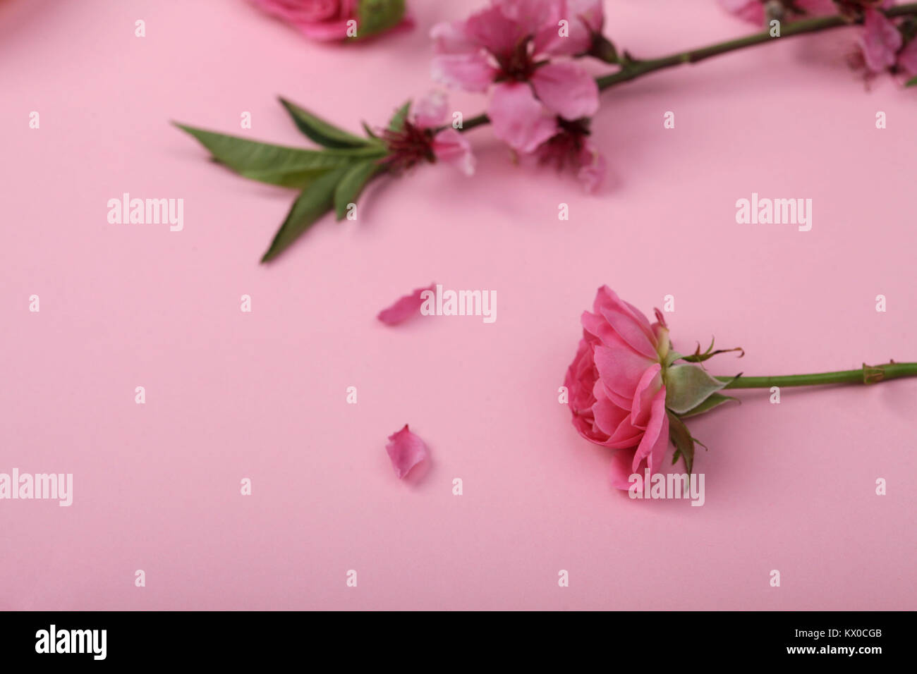 femininity, nature, aroma therapy concept. on the girlish pinky background there is brunch of oriental cherry with - Stock Image
