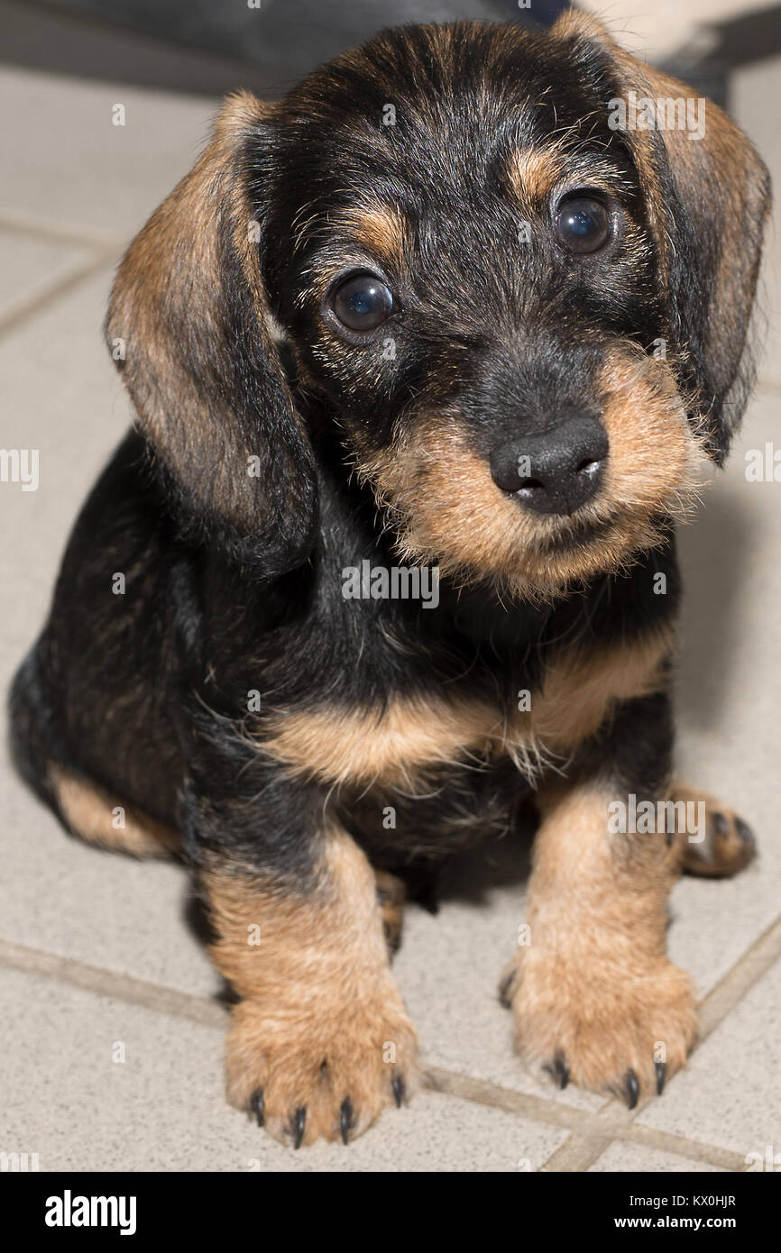Wire Haired Miniature Dachshund Puppy Rudi Sitting On Floor Tiles Stock Photo Alamy