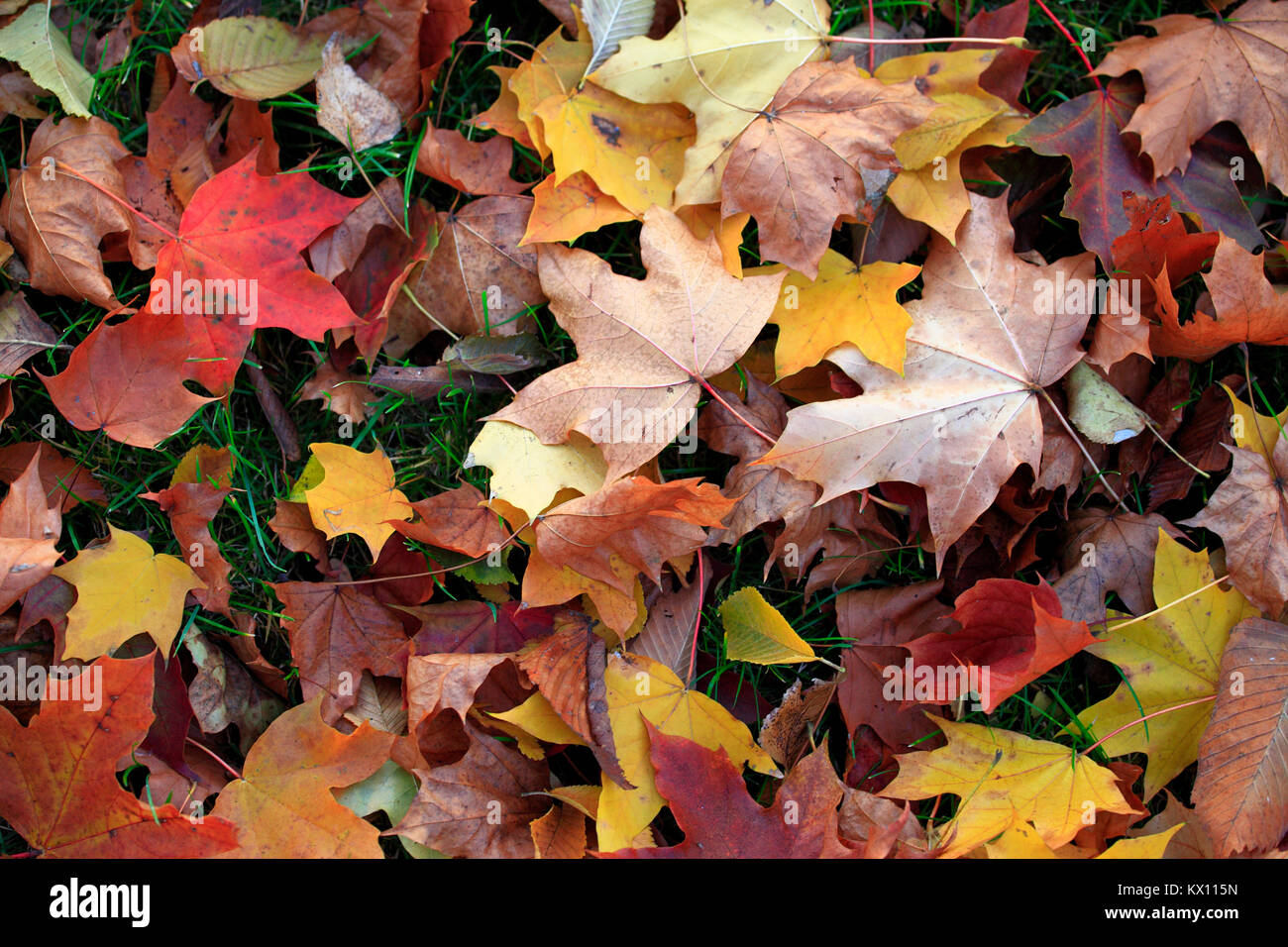 Colorful leaves and tress in autumn season in Mazovia region in Poland - Stock Image