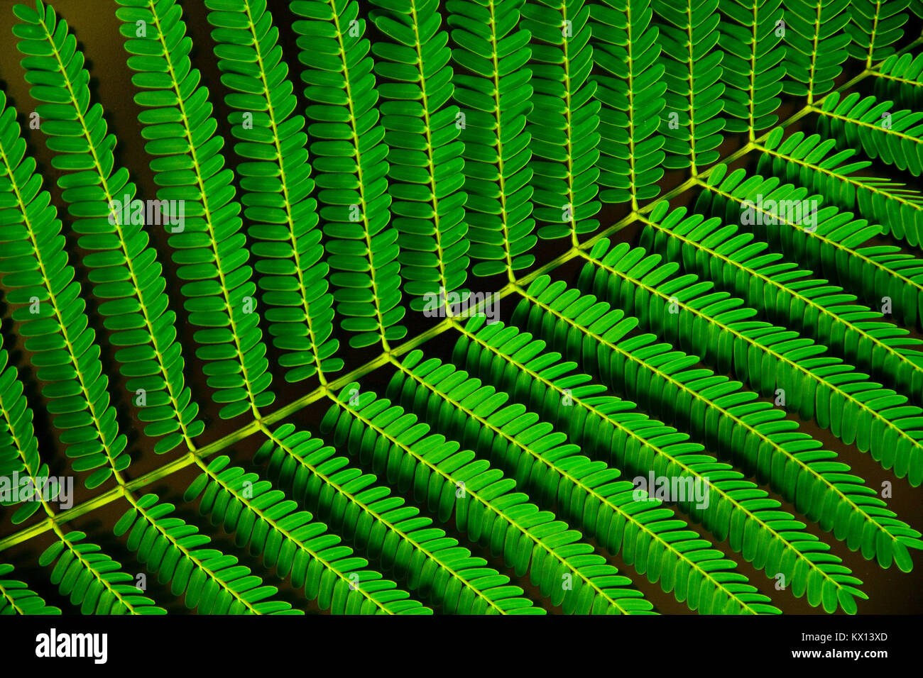 Still life close up photo of Poinciana tree leaf. - Stock Image