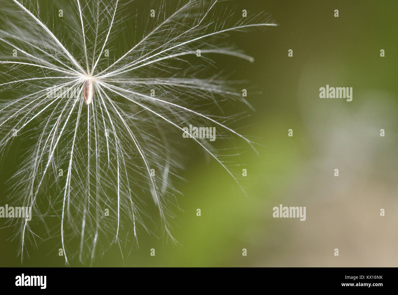 Marsh Thistle - Cirsium palustre - Stock Image