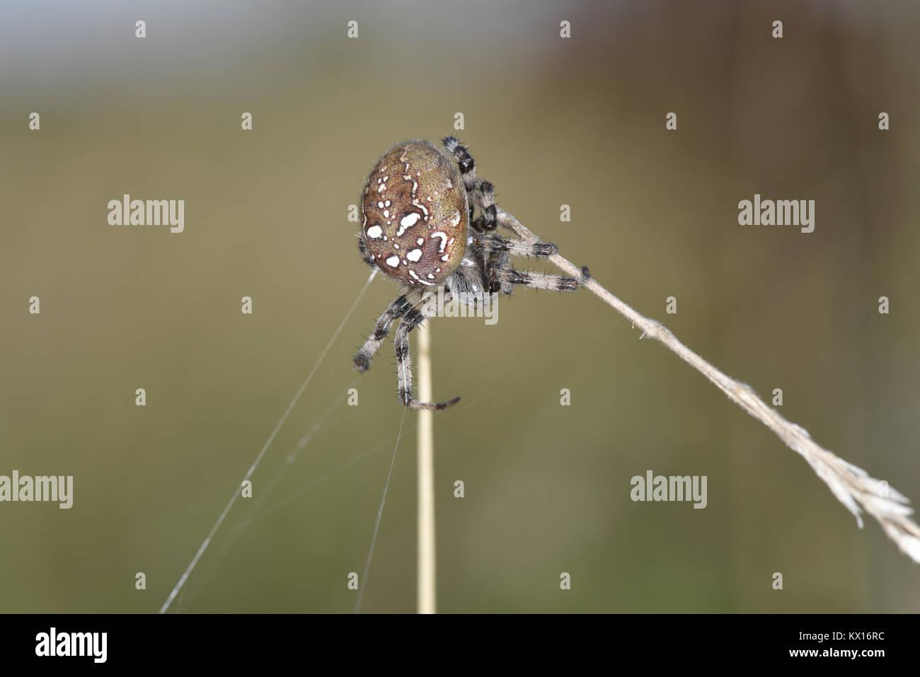 Four-spot Orb Weaver - Araneus quadratus - Stock Image