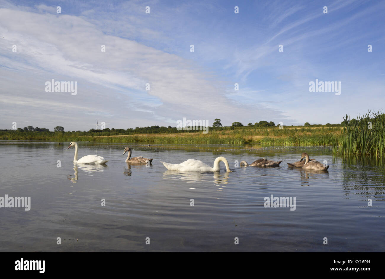 Mute Swan - Cygnus olor - Stock Image