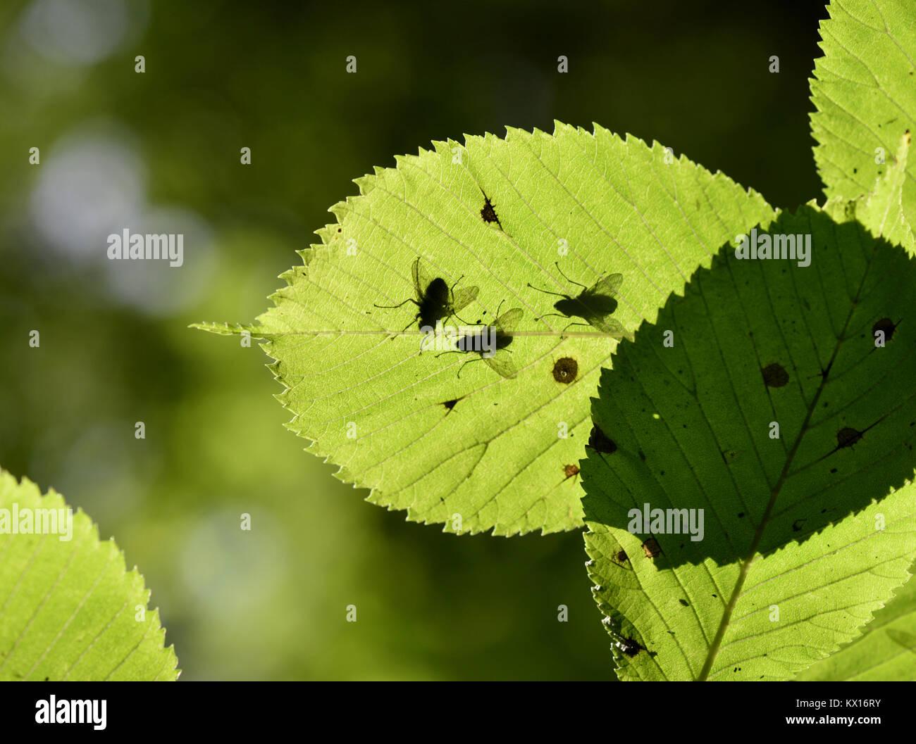 Wych Elm - Ulmus glabra - Stock Image