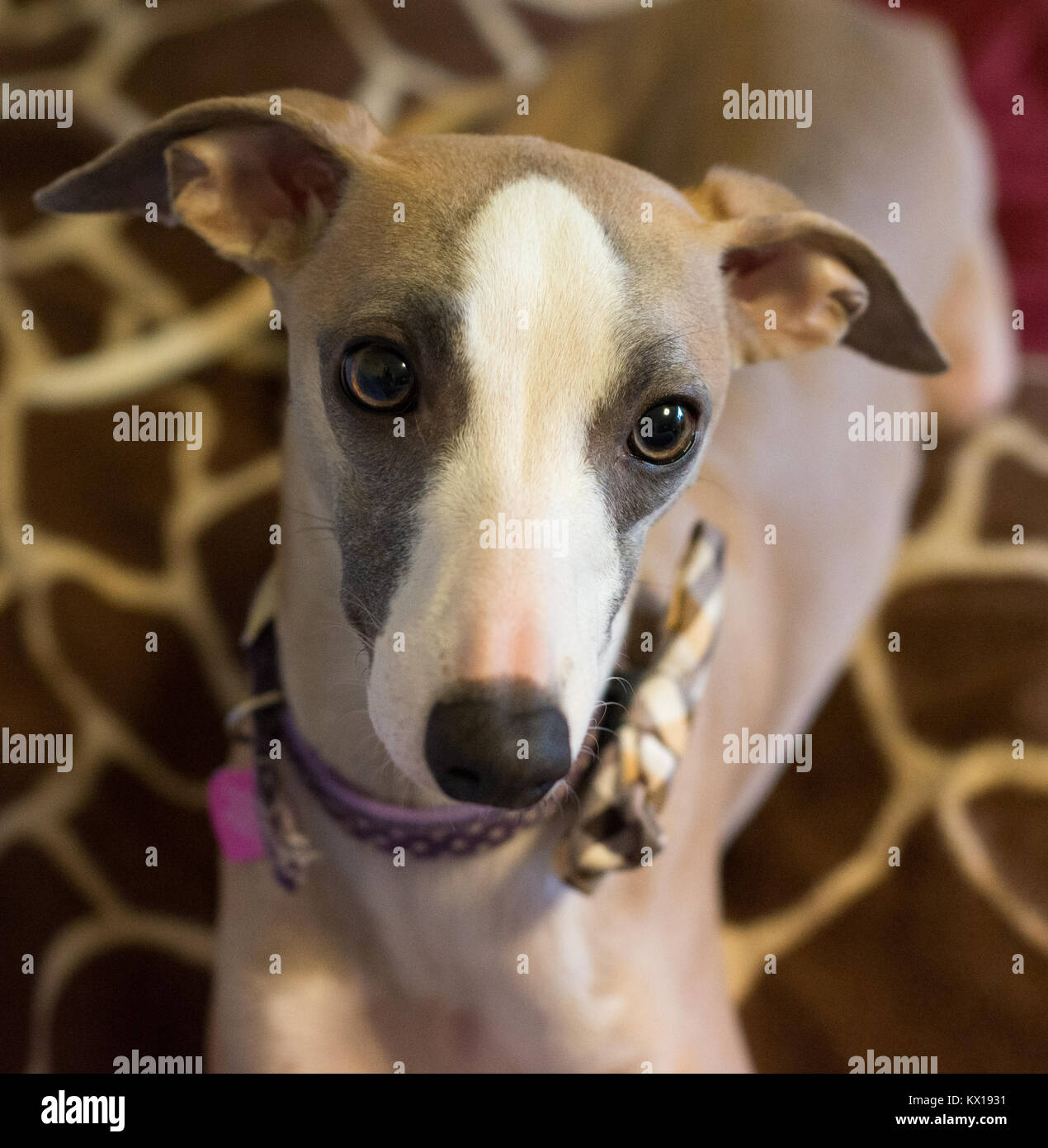 whippet puppy closeup of eyes - Stock Image