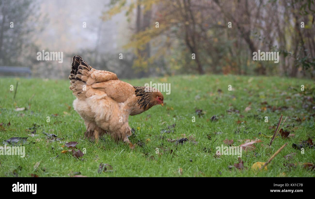 chicken grazing in farm field - Stock Image