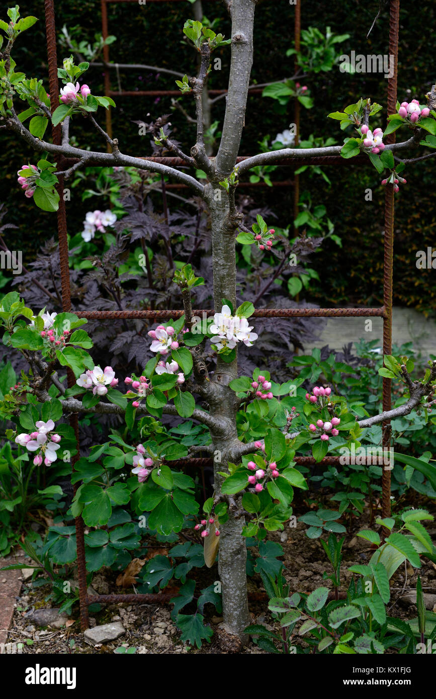 apple tree,cordon,arch,cordoned,train,trained,blossom,blossoming,spring,tight space,small,garden,gardens,RM Floral - Stock Image