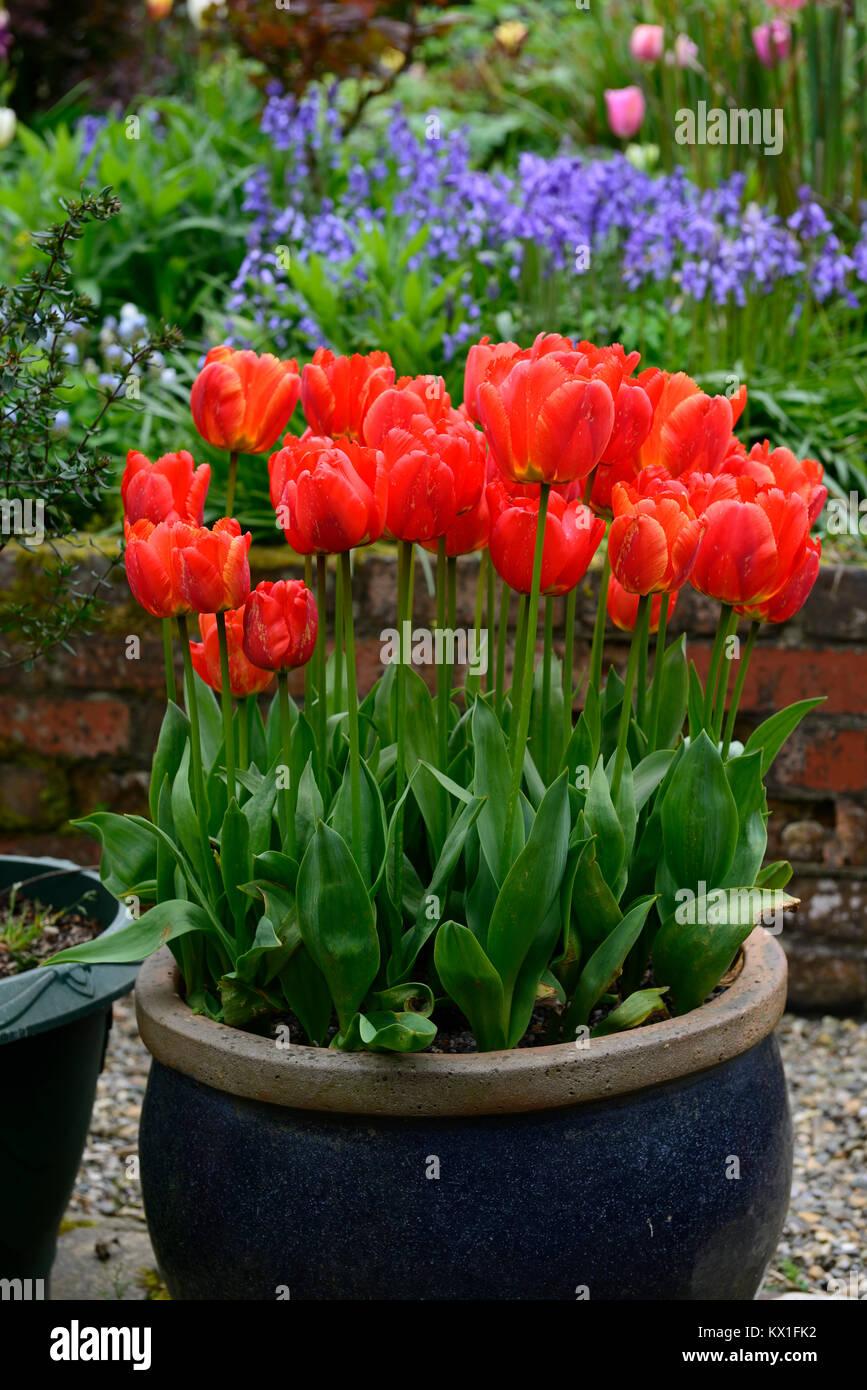 Tulipa apeldoorn elite,darwin hybrid,red,tulip,flowers,display,pot,container,garden,gardens,bluebells,background,contrast,RM - Stock Image