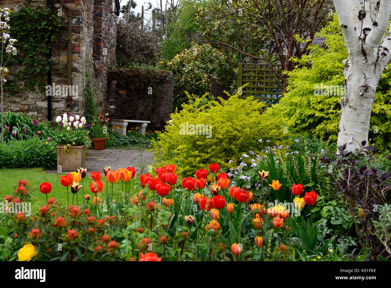 Tulipa angels wish,tulipa apeldoorn elite,darwin hybrid,red,tulip,flowers,display,The Bay Garden,Camolin,RM Floral - Stock Image