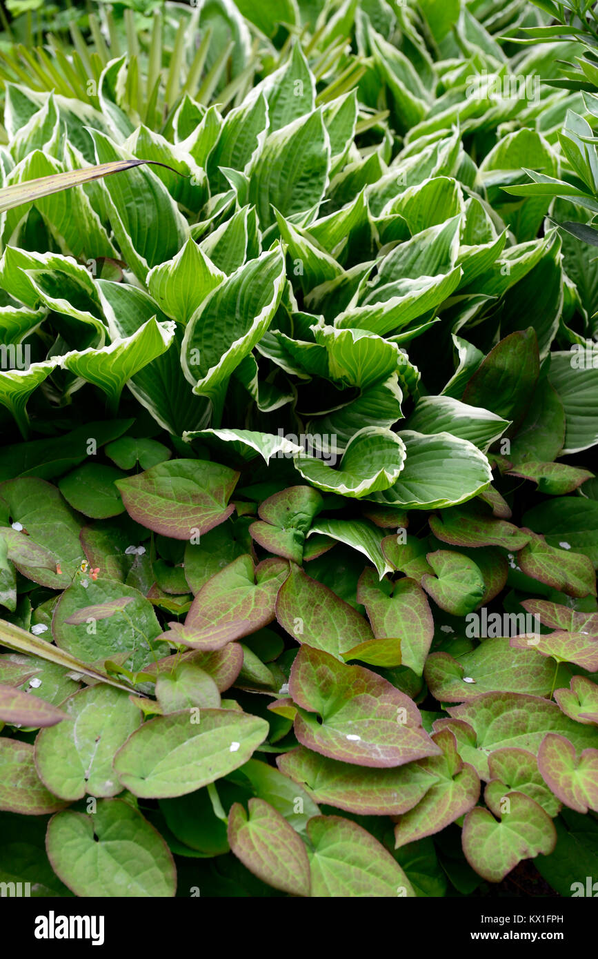 hosta,variegated,epimedium,marbled,leaves,foliage,structural,groundcover,plant,plants,planting,garden,RM Floral - Stock Image