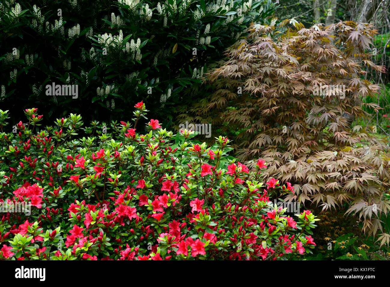 Prunus Laurocerasuscherry Laurelacer Palmatumred Stock Photo