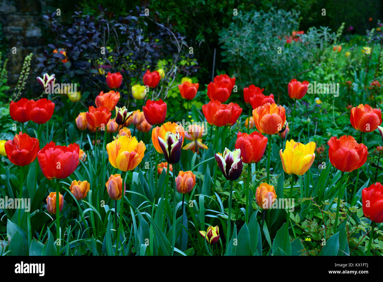 red,yellow,tulips,tulips,mix,mixed,tulipa apeldoorn elite,spring,flowers,flowering,RM Floral - Stock Image