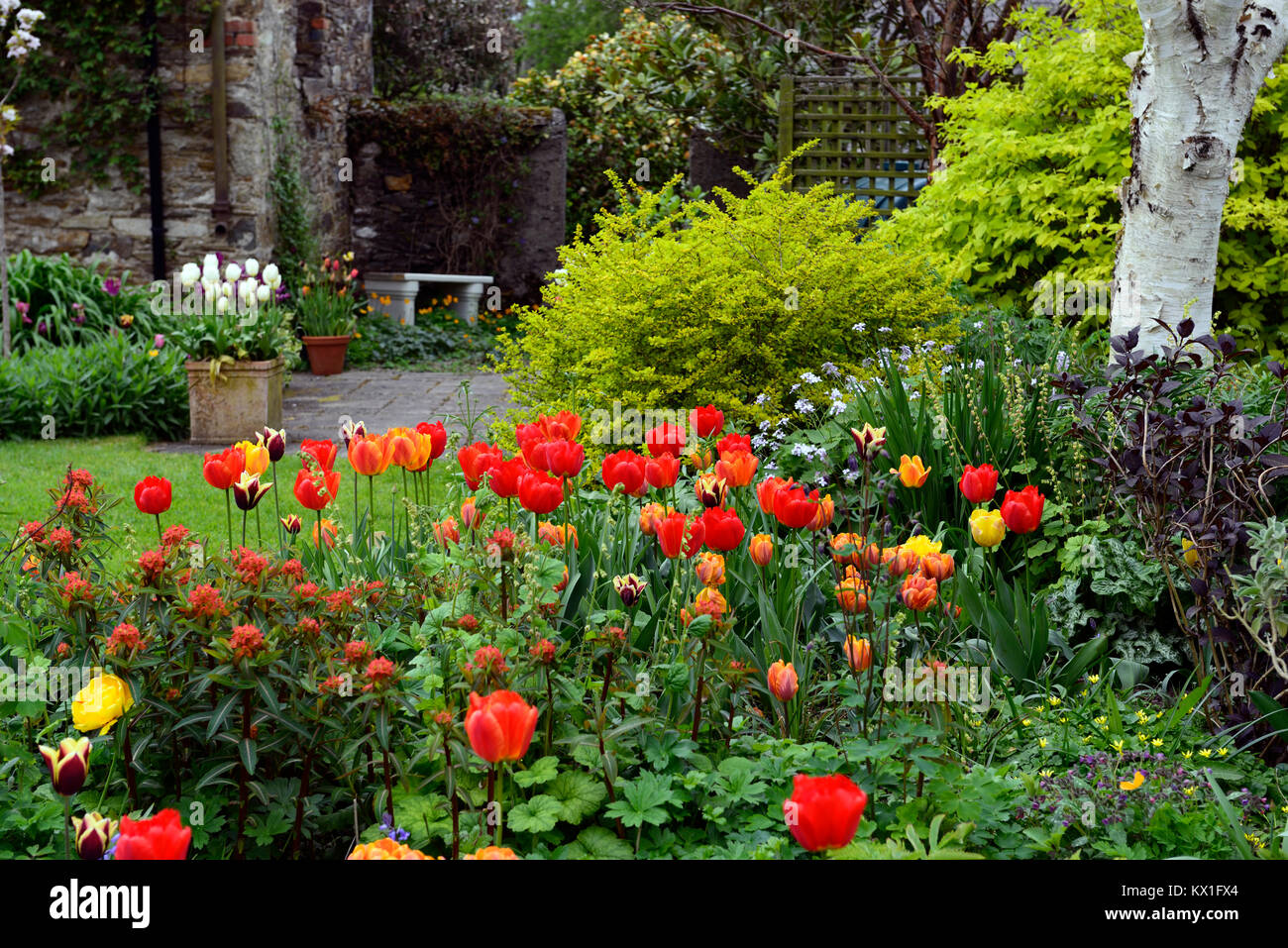 Tulipa apeldoorn elite,darwin hybrid,red,tulip,flowers,display,The Bay Garden,Camolin,RM Floral - Stock Image