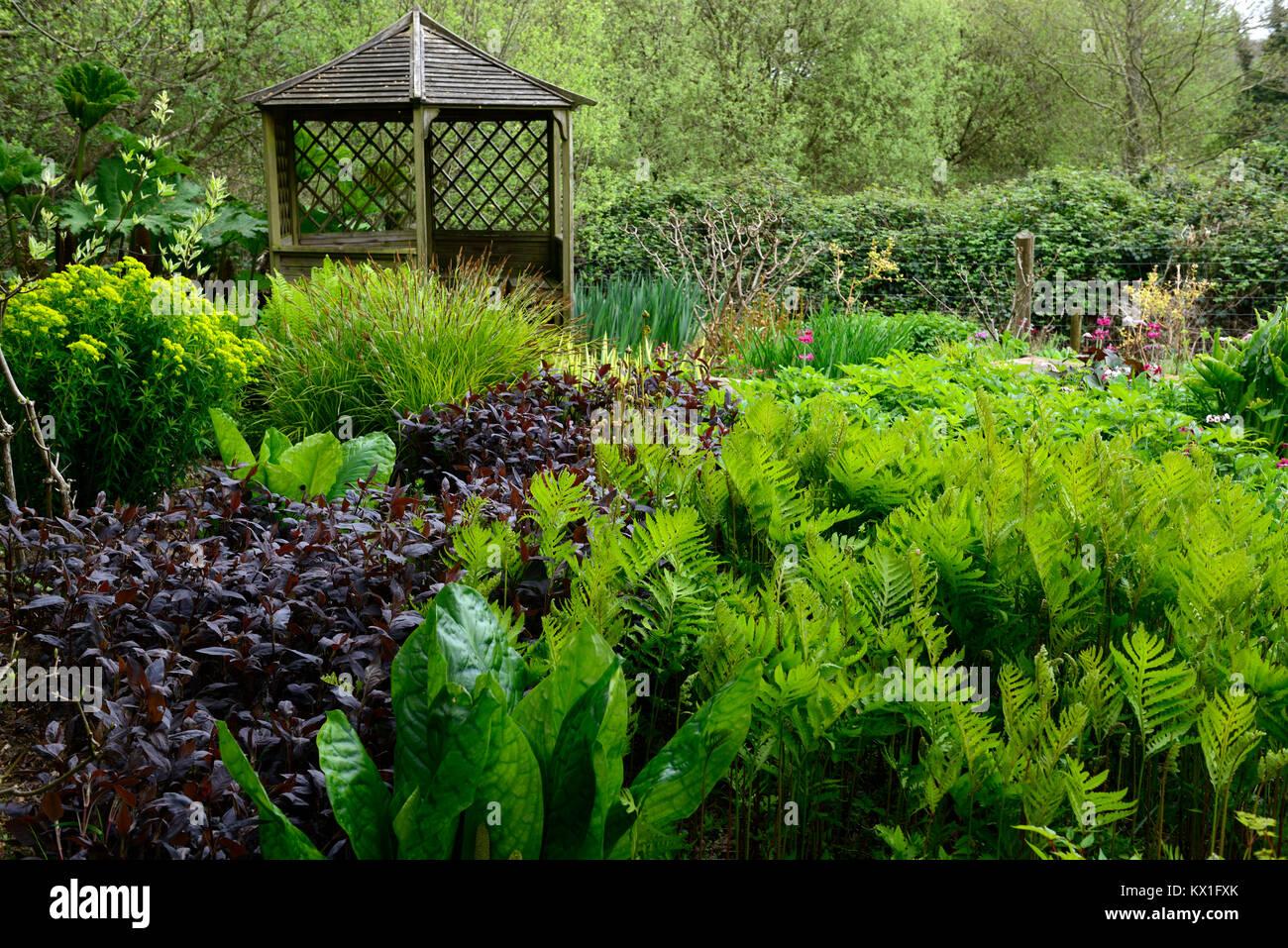 onoclea sensibilis,sensitive fern,Lysichiton americanus,skunk cabbage,damp,boggy,moist,garden,pagoda,leaves,foliage,RM floral Stock Photo