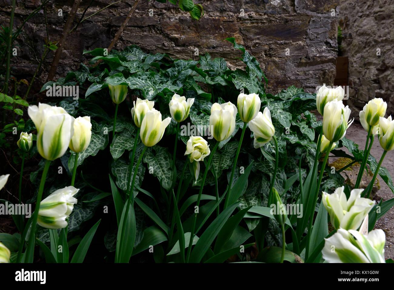 tulipa deirdre,tulip,tulips,green and white,flower,flowers,flowering,arum italicum subsp italicum marmoratum,syn,arum - Stock Image