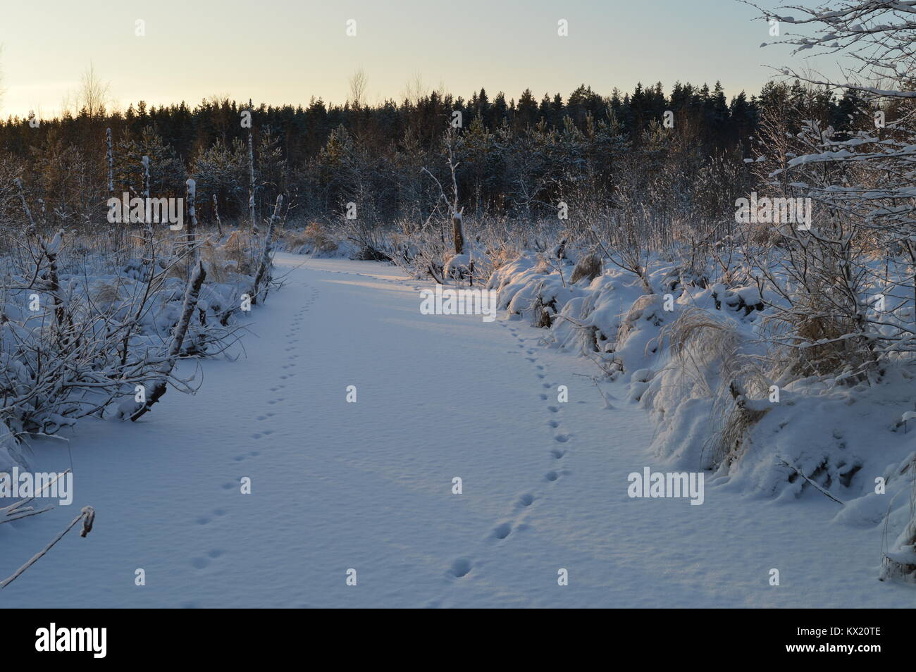 Snow ice of the winter frozen forest river at dawn in animal tracks Stock Photo