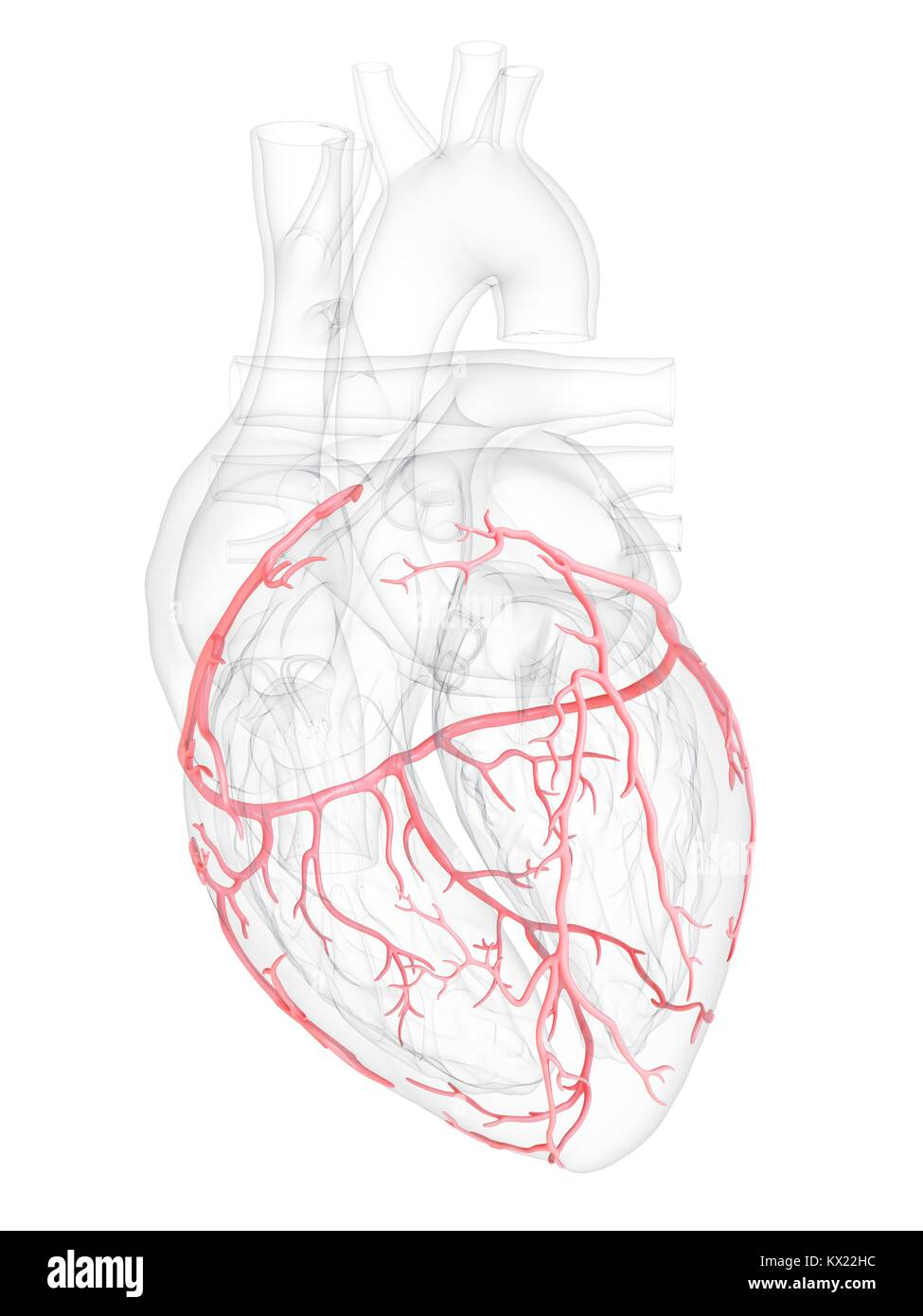 Coronary Arteries Stock Photos & Coronary Arteries Stock Images - Alamy