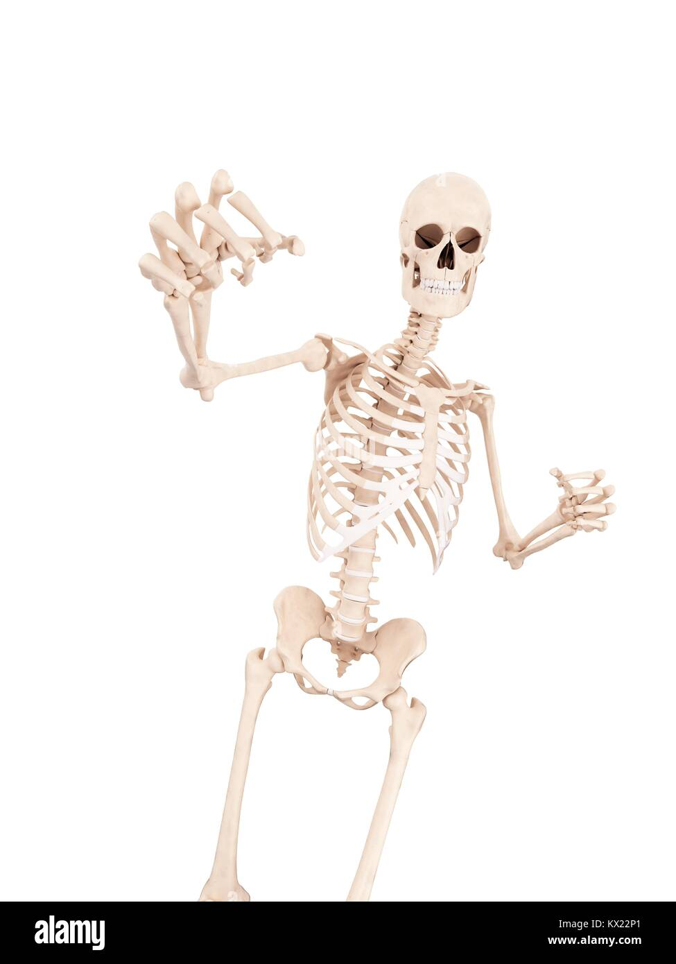 Boxers Skeletal Structure Stock Photos Boxers Skeletal Structure