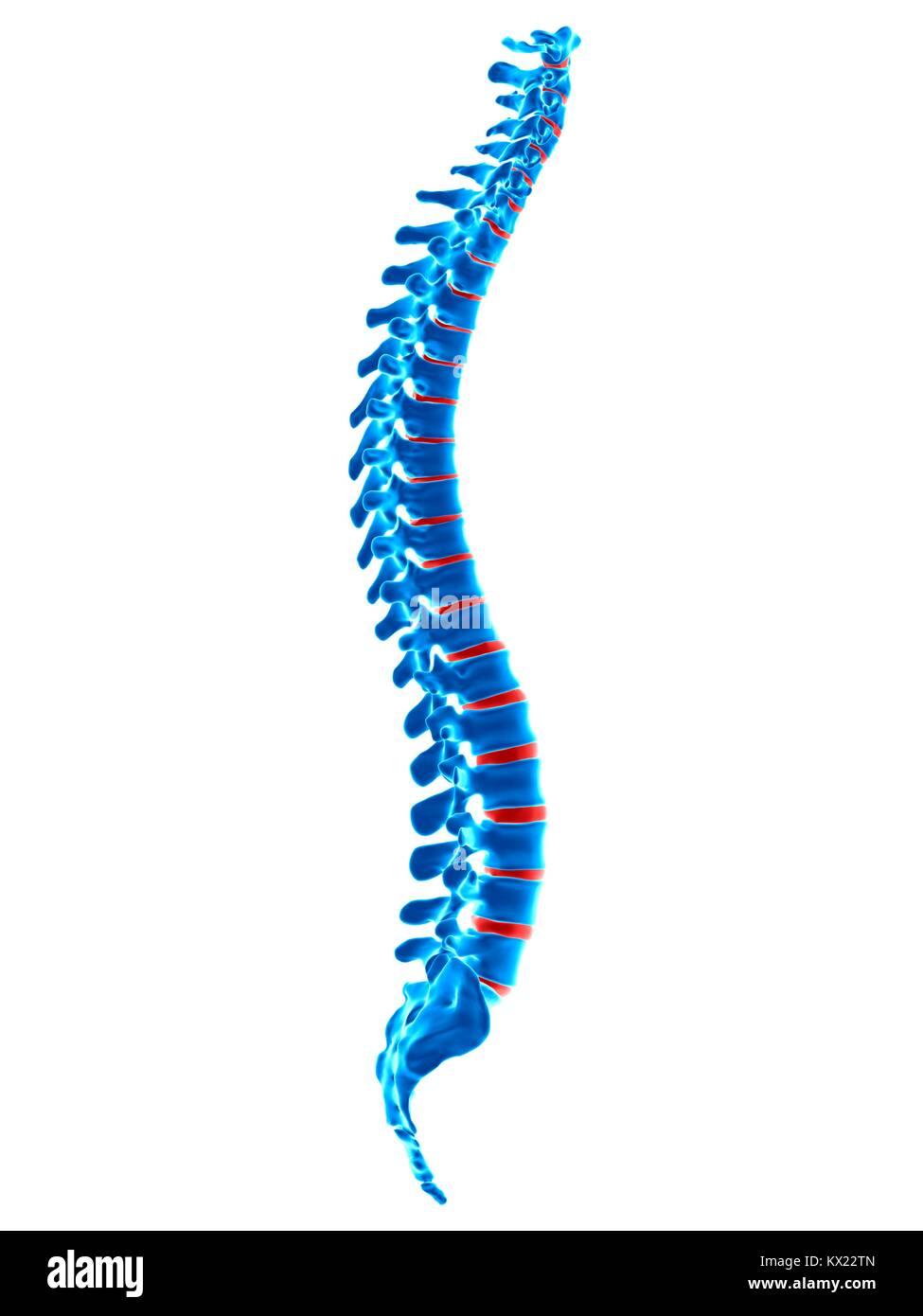 Human spinal vertebrae, illustration. - Stock Image