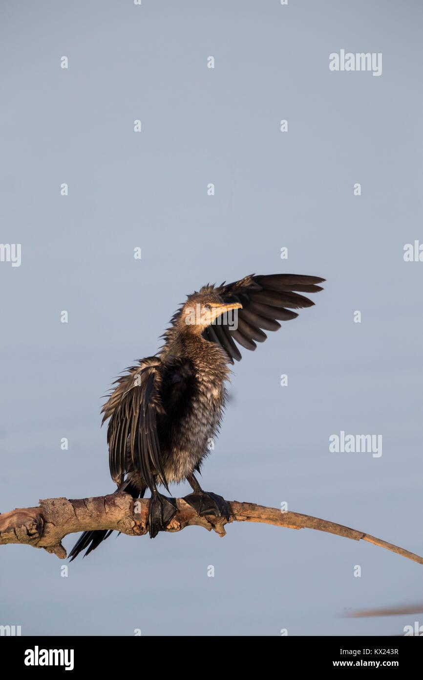 Long-tailed cormorant Phalacrocorax africanus, adult, perched on branch, Kotu Bridge, The Gambia in November. - Stock Image