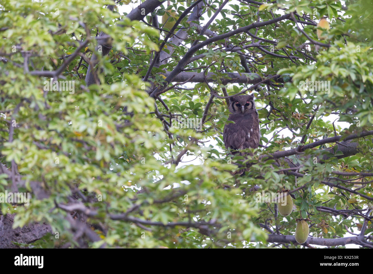 Verreaux's eagle owl Bubo lacteus, adult, roosting in tree, Brikama, The Gambia in November. - Stock Image