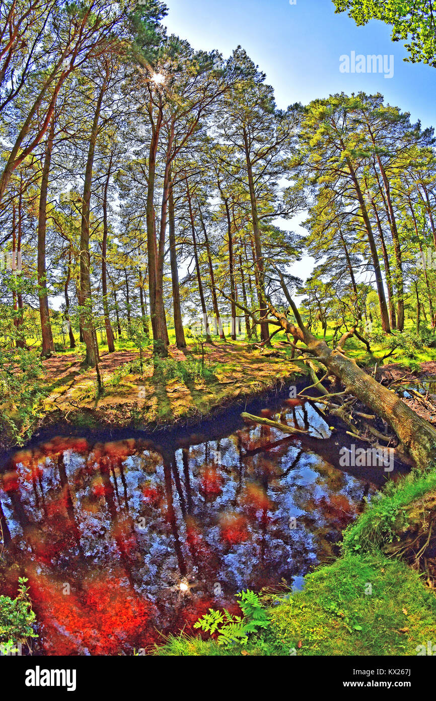 Pine trees lining stream in the New Forest National Park, Brockenhurst, Hampshire, England. Stock Photo