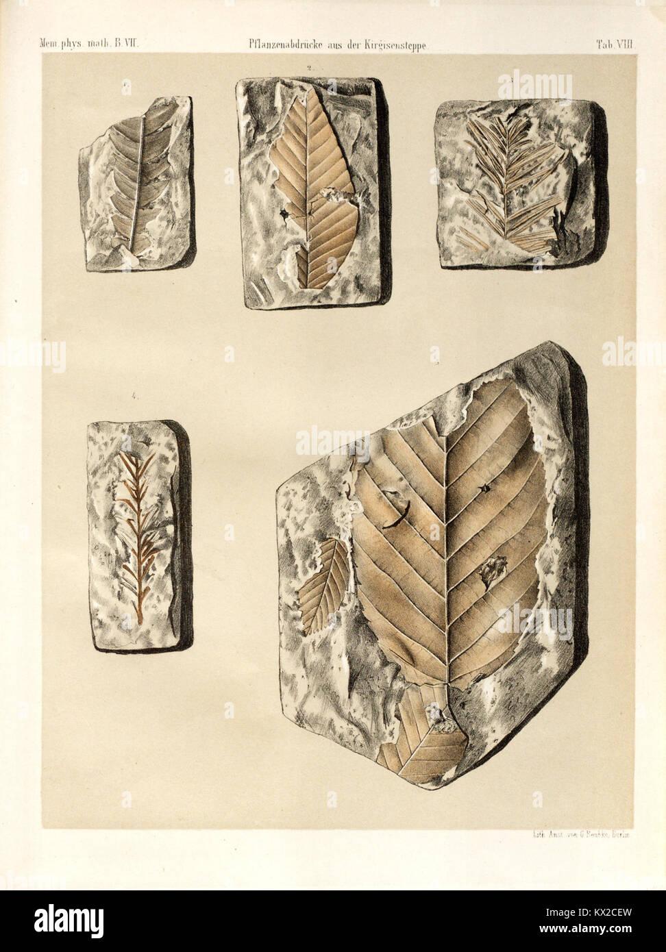 Beiträge zur Paläontologie des Asiatischen Russlands BHL40172069 - Stock Image