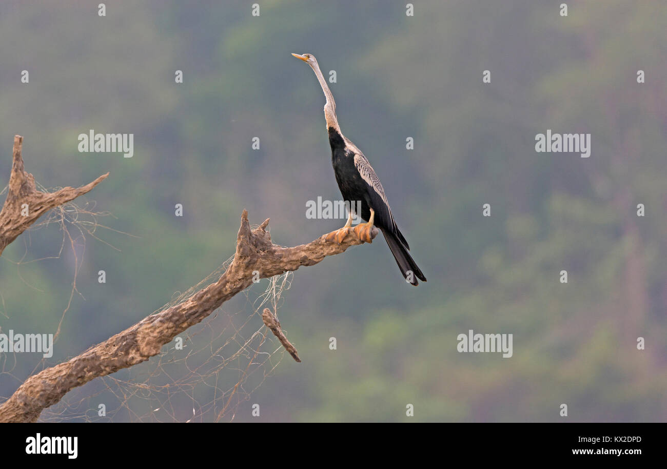 Darter looking for food on the Kabini River in Nagarhole National Park in India - Stock Image