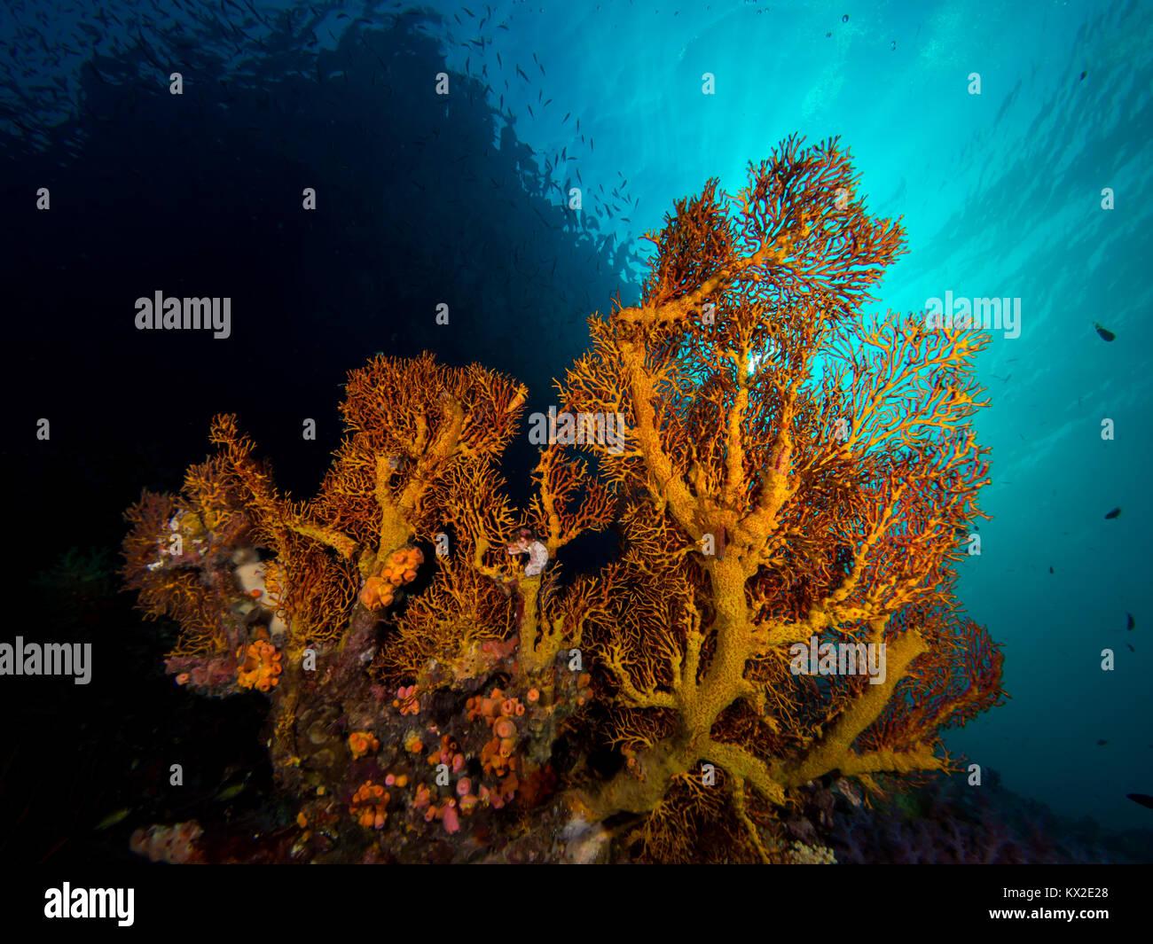 sinburst gorgoninan sea fan Stock Photo