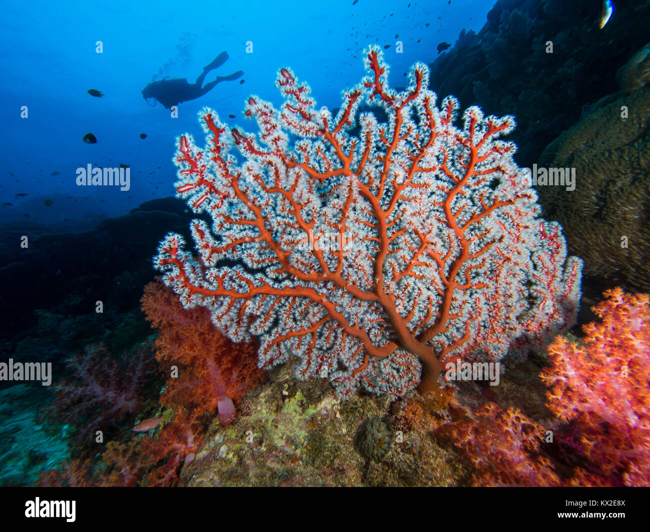 CGorgonian seafan with a diver Stock Photo