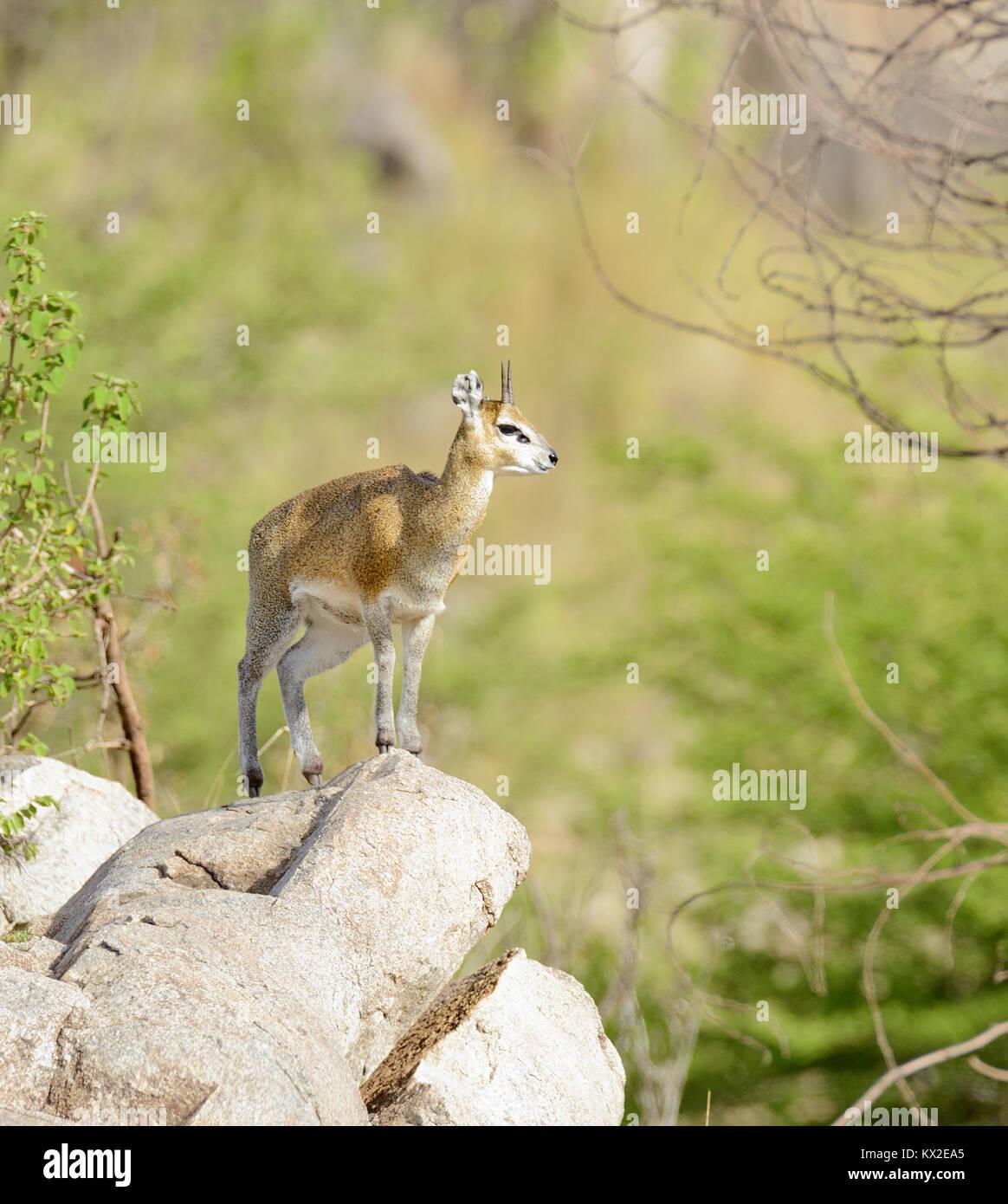 Closeup of Klipspringer in the Serengeti National park, Tanzania - Stock Image