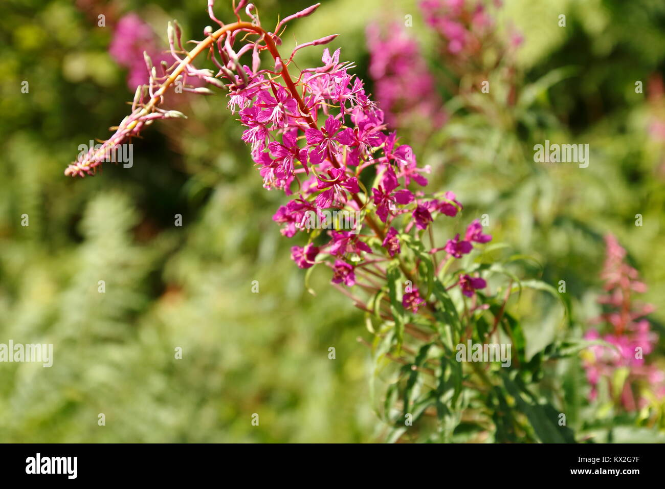 Heideröschen, Nachtkerze mit lila pink Blüte - Stock Image