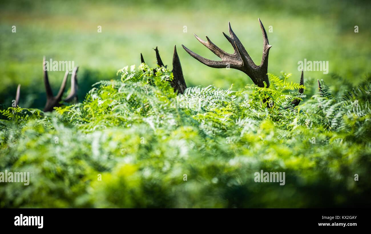 2 Stags almost hidden apart from their antler tips in deep bracken - Stock Image