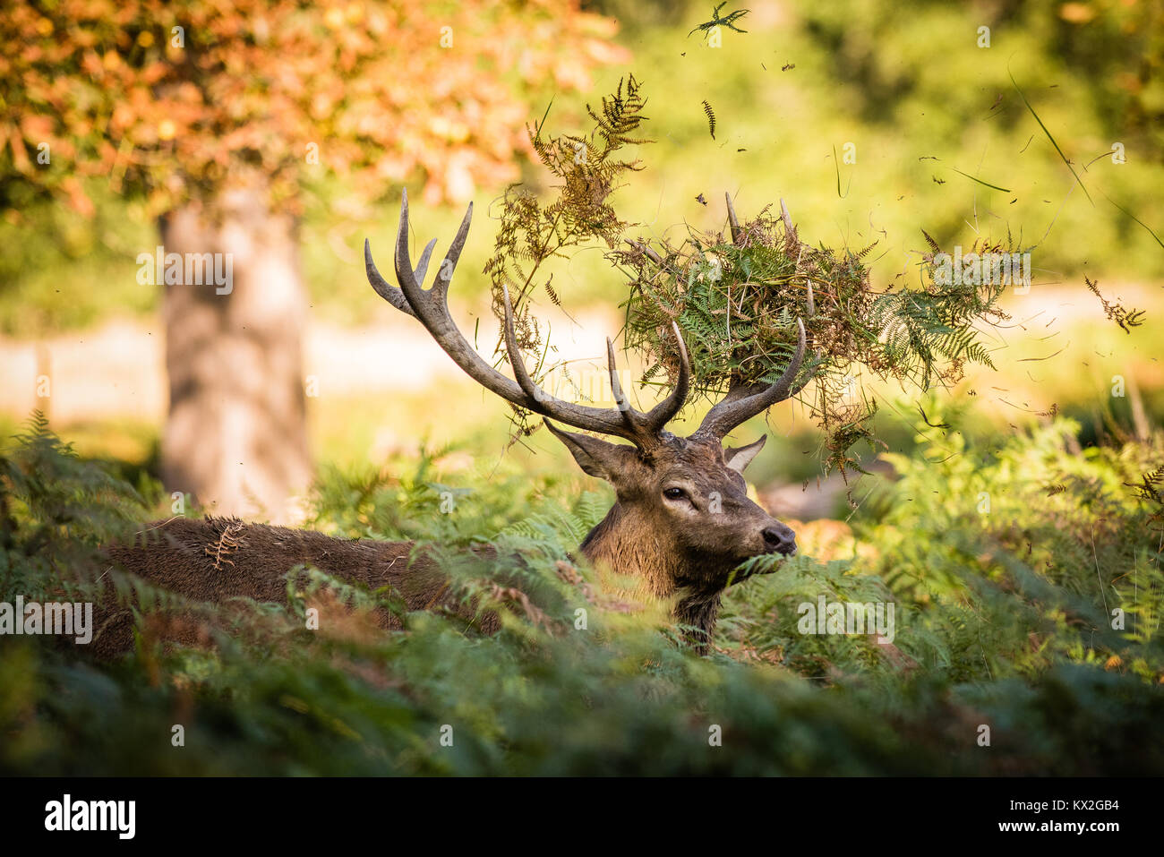 A lone stag tosses broken with its antlers during the rutting season - Stock Image
