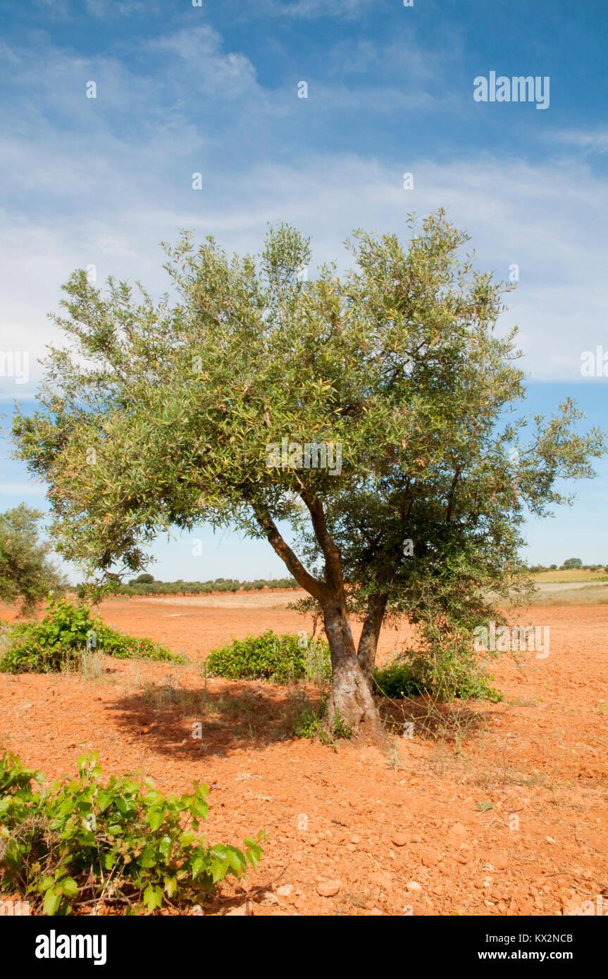 Olive tree growing. Belmonte de Tajo, Madrid province, Spain, Stock Photo
