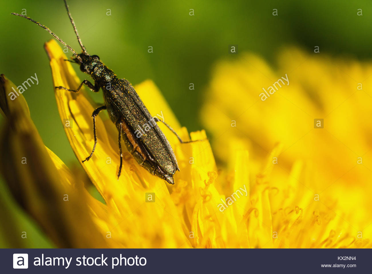 Large Black And Yellow Bug Stock Photos & Large Black And