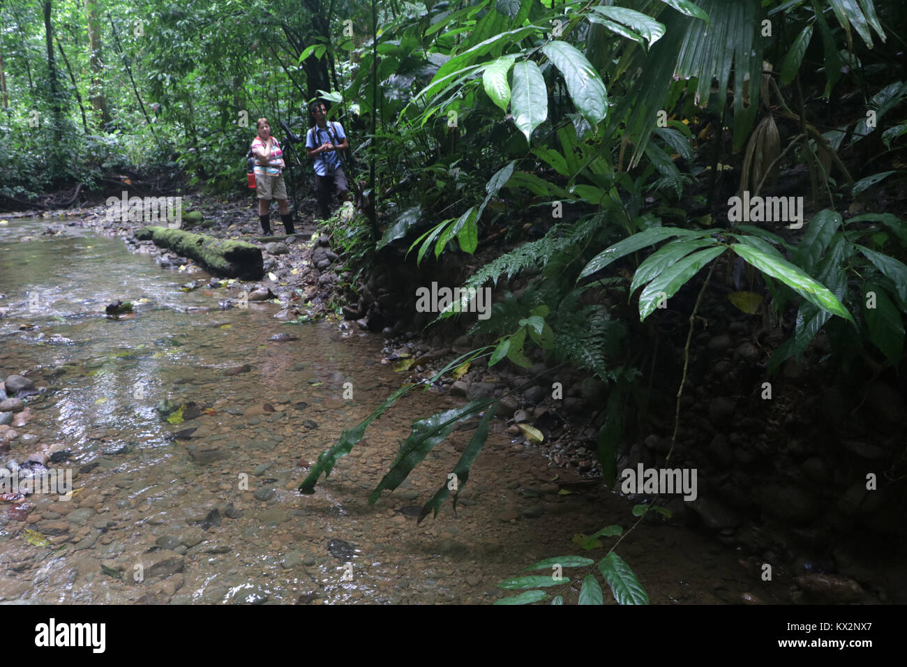 Hiker on trail Osa Peninsula Costa Rica mahogany tree in primary rain forest. Tropical Jungle tree Stock Photo