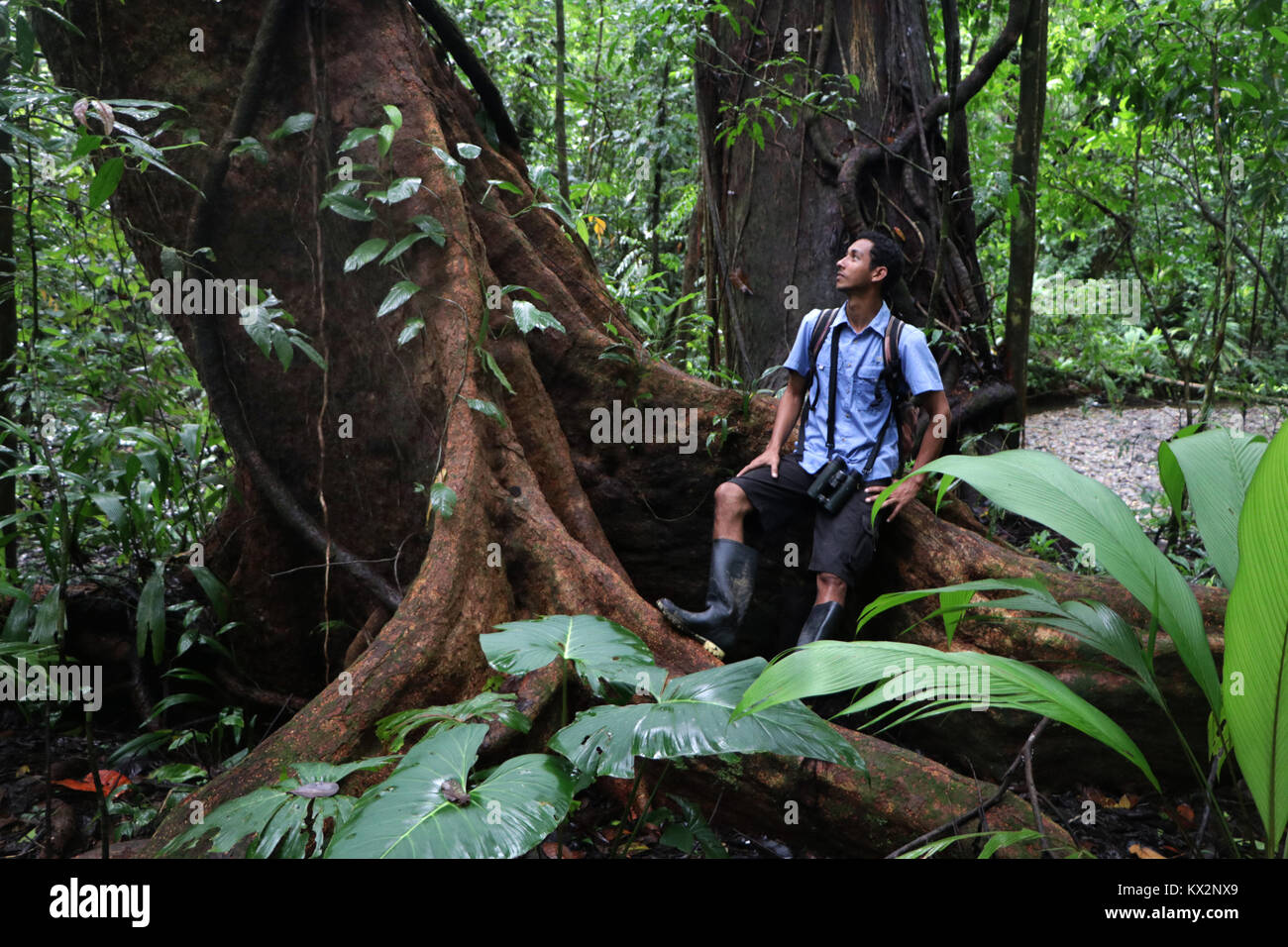 Hiker on trail Osa Peninsula Costa Rica mahogany tree in primary rain forest. Tropical Jungle tree - Stock Image
