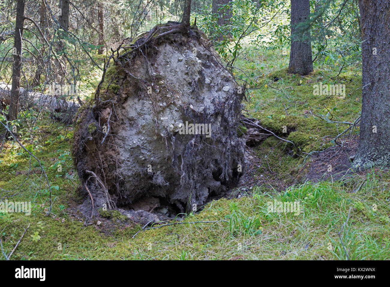 Root mound of fallen tree in Banff National Park - Stock Image