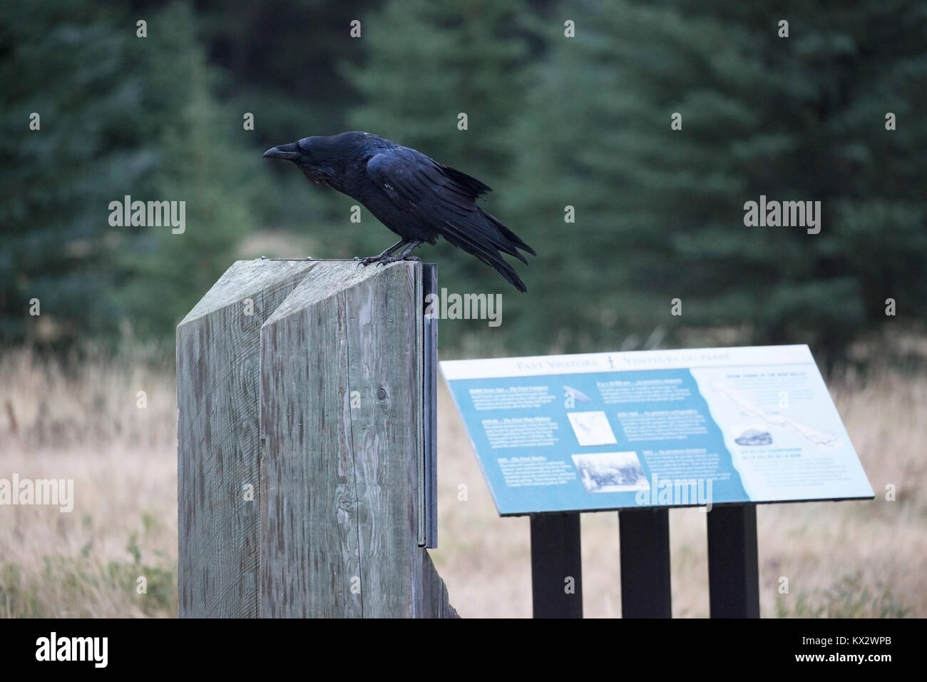 Raven perched on interpretive sign in Banff National Park - Stock Image