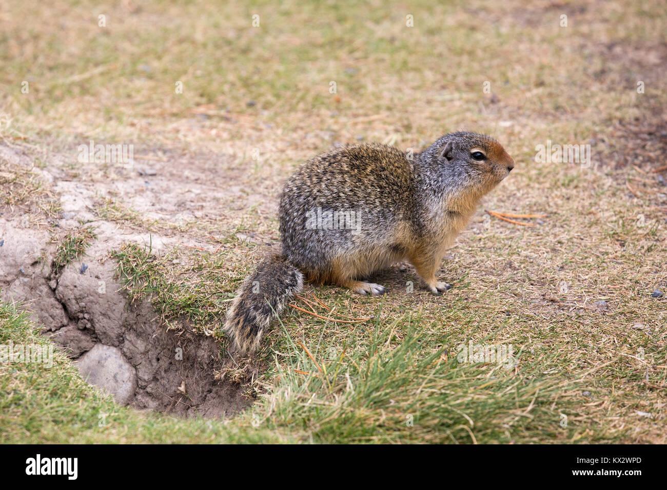 Columbian ground squirrel (Urocitellus columbianus) beside burrow in Banff National Park Stock Photo