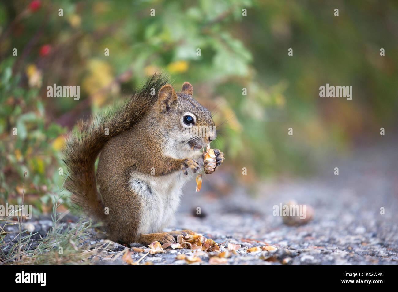 Red Squirrel (Tamiasciurus hudsonicus) eating spruce cone in  in Banff National Park - Stock Image
