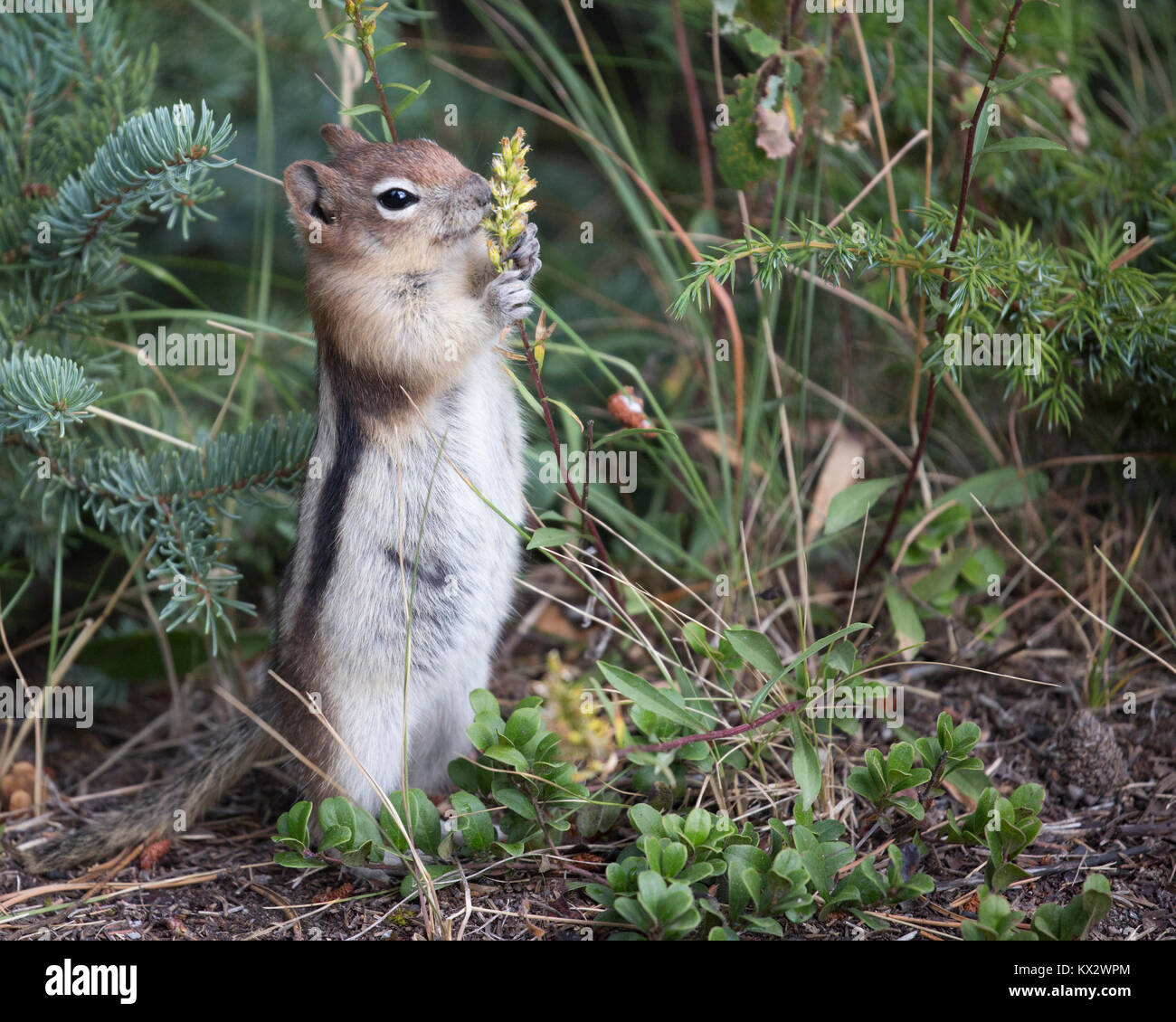 Golden-mantled ground squirrel (Callospermophilus lateralis) in Banff National Park - Stock Image