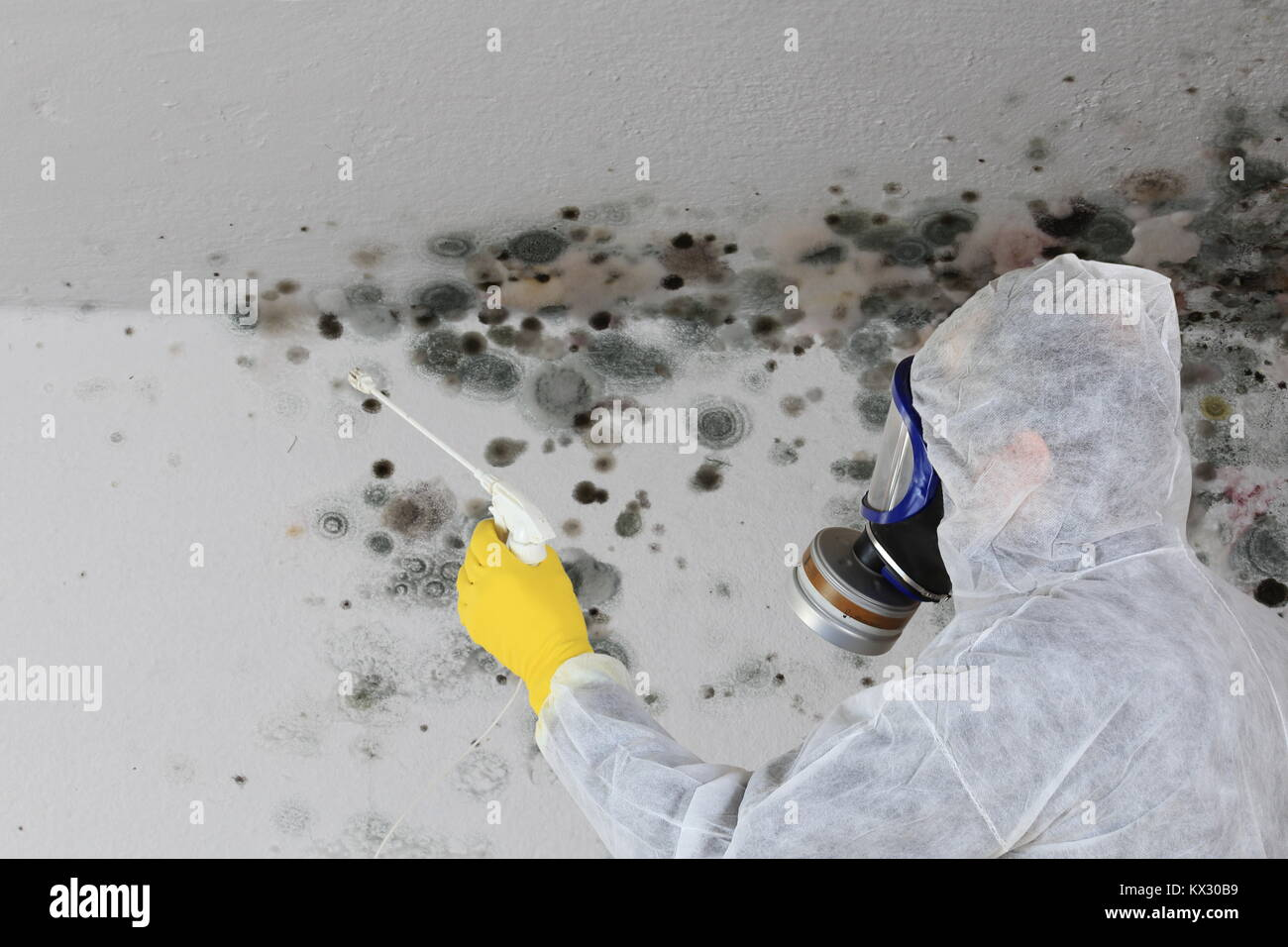 A Man removing Mold fungus with respirator mask - Stock Image