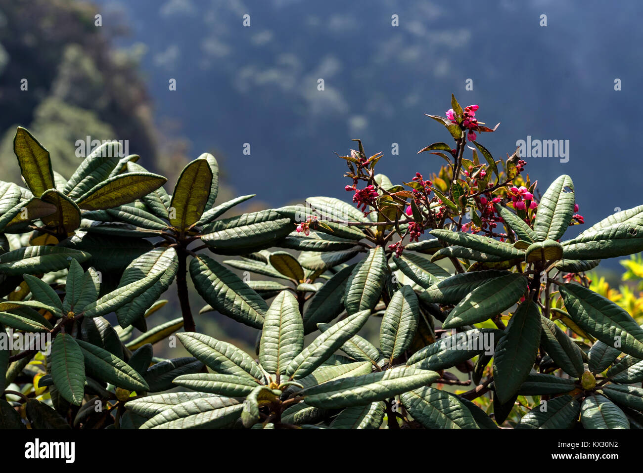 Blooming rhododendron arboreum in Horton Plains - Stock Image